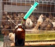 Jeringuilla del antibiótico de la granja de la perdiz Imagen de archivo libre de regalías