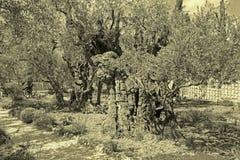 Jerozolima - bardzo stary drzewo oliwne w ogródzie przed kościół Obraz Royalty Free