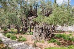 Jerozolima - bardzo stary drzewo oliwne w ogródzie przed kościół Wszystkie narody (bazylika agonia) Fotografia Stock