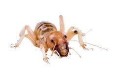 Jerozolimscy krykiet są grupą ampuła, flightless insekty t Obrazy Royalty Free