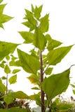 Jerozolimskiego karczocha roślina Obrazy Stock