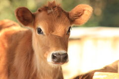 Jersey calf. Portrait of a jersey calf on a dairy farm Stock Image