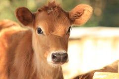 Jersey calf Stock Image