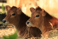 Jersey calves. Profile view of two jersey calves on a dairy farm stock images
