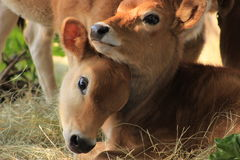 Jersey calves. Two jersey calves on a dairy farm royalty free stock image