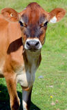 Jersey cattle Stock Images