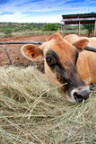 Jersey cow. Closeup of head of brown jersey dairy cow with hay on farm Royalty Free Stock Photos