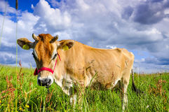 Jersey cow Stock Photos