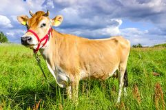 Jersey cow Stock Images