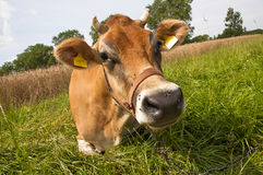 Jersey cow Royalty Free Stock Images