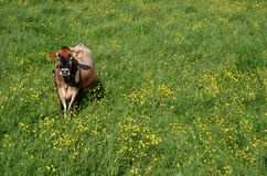 Jersey Cow. Dairy Cow in Meadow Stock Images