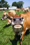 Jersey Cow Grazing. In pasture Royalty Free Stock Image