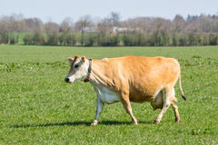 Jersey cow on a green field Royalty Free Stock Photos