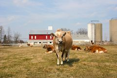 Jersey cow in a pasture. Farm scene with a jersey cow in a pasture Royalty Free Stock Photo