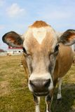 Jersey cow in a pasture. A jersey cow on a farm Stock Photo