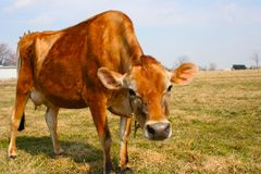 Jersey cow in a pasture. A jersey cow stretching to see what is going on Stock Image