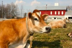 Jersey cow in a pasture. A cow with a barn and silo in the background Royalty Free Stock Photo