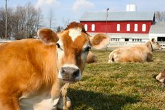 Jersey cow in a pasture. A beautiful jersey cow on a farm Stock Image
