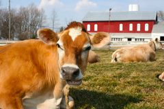 Jersey cow in a pasture. A beautiful jersey cow in a pasture Stock Images