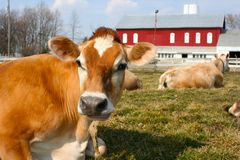 Jersey cow in a pasture. A beautiful jersey cow in the field Stock Photos