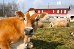Jersey cow in a pasture. Brown jersey cow in the pasture Stock Photos
