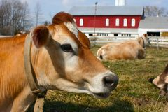 Jersey cow in a pasture. A cow that talks to you Stock Images