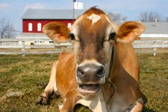 Jersey cow in a pasture. A cow that talks to you Stock Image