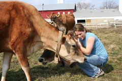 Jersey cow in a pasture. Cute girl petting a jersey cow Royalty Free Stock Image