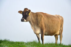 Jersey cow. On pasture in morning mist, West Coast, New Zealand Royalty Free Stock Photo