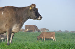 Jersey cow Royalty Free Stock Photography