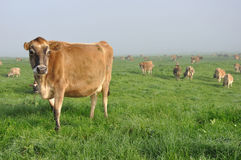 Jersey cow Royalty Free Stock Photo