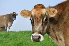 Jersey cow Stock Image