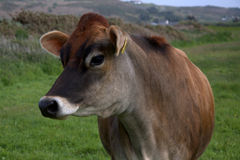 Jersey cow portrait Stock Images