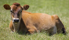 Jersey cow relaxing front profile. Front profile of a Jersey cow relaxing in a paddock Stock Photo