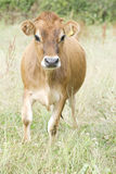 The Jersey cow. 