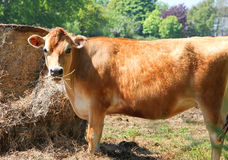 Jersey cow. Single jersey cow eating hay on island of jersey, united kingdom Royalty Free Stock Photography