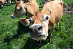 Jersey Cow Sniffing Camera. A cow in my pasture sniffing at me while I take a picture of her Royalty Free Stock Photography