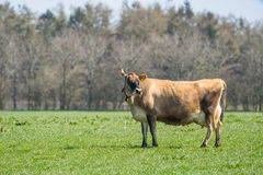 Jersey cow standing on a field Stock Photos