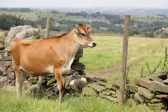 Jersey cow by a stone wall Stock Images