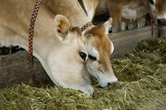 Jersey Cows. Close-up of two jersey cows grazing stock image