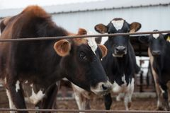 Jersey cows /dairy cattle farm.  Stock Images