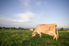 Jersey cows grazing in rural field Stock Photography