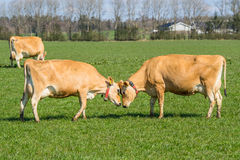 Jersey cows head to head Royalty Free Stock Image
