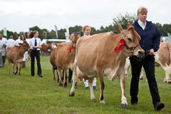 Jersey cows Stock Images