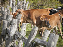 Jersey Cows on an Old Vermont Farm. Jersey cows in and old Vermont farmyard surrounded by an old split rail fence Stock Photo
