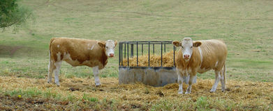 Jersey cows stood in field. Some jersey cows grazing in a field Royalty Free Stock Photos