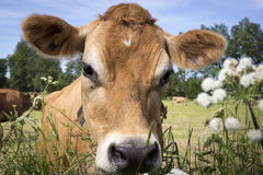 Jersey Cows. Typical Jersey Cows on Jersey island, UK stock image