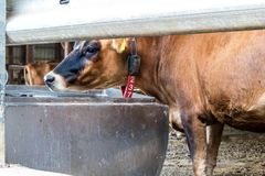 A Jersey dairy cow at a small 7 generation family dairy in Illinois stock photography