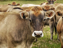 Jersey Dairy Cows, Cattle Stock Images