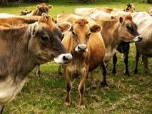 Jersey Dairy Cows, Cattle. Jersey dairy cows - cattle, New Zealand Stock Images
